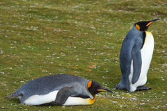 King Penguins Resting - Falkland Islands Stock Photos