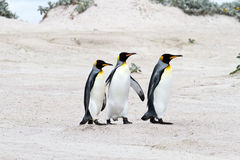King penguins in a row Stock Image