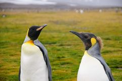 King Penguins on Salisbury plains. Impression of the wild abundance of King Penguins at Salisbury Plains, South Georgia. Salisbury plains is home to one of the royalty free stock images