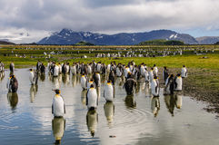 King Penguins on Salisbury plains Royalty Free Stock Photos