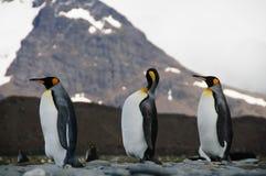 King Penguins on Salisbury plains Royalty Free Stock Image