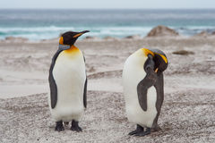 King Penguins on a Sandy Beach - Falkland Islands Royalty Free Stock Images