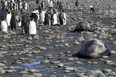 King penguins and sea elephants in South Georgia Stock Image