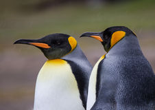 King Penguins in sleet and snow storm. Huddle together for warmth Royalty Free Stock Photos
