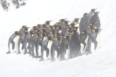 King penguins in snow and fog Stock Images