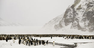 King Penguins in a Snowy Wonderland. A King Penguin colony in front of a glacier and a mountain, all under a snow storm Fortuna Bay, South Georgia stock photo