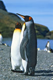 King Penguins, South Georgia Stock Photos