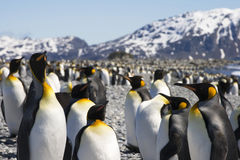King Penguins on South Georgia Stock Photos