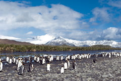 King penguins in South Georgia Royalty Free Stock Image