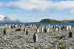King penguins in South Georgia. King penguins on the beach of South Georgia with the mountains in the background Royalty Free Stock Photography