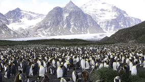 King Penguins at South Georgia stock video footage