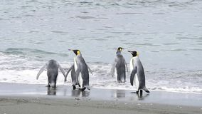 King Penguins at South Georgia stock footage