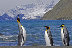 King Penguins, South Georgia, UK. The King Penguin  is the most regal of its king. Almost standing to attention they call in a diphonic whistle. The nearby Stock Photo