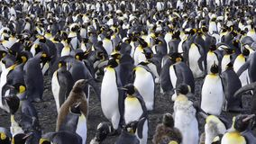 King Penguins at South Georgia stock video