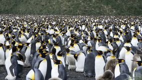 King Penguins at South Georgia. King Penguins walk on the beach at Sourh Georgia stock footage