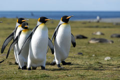 King penguins, South Georgia Royalty Free Stock Images