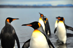 King Penguins in Southamerica. King Penguins on the beach in the island of Tierra del Fuego Stock Image