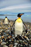 King Penguins in Southamerica. King Penguins on the beach in the island of Tierra del Fuego Royalty Free Stock Image