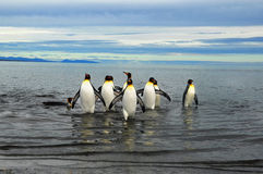 King Penguins in Southamerica. King Penguins on the beach in the island of Tierra del Fuego Royalty Free Stock Images