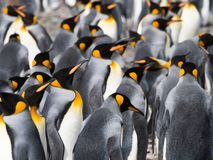 King Penguins with Silver Feathers Shining in the Sun. King penguins standing in the colony. Most have their silver backs to the camera but some are seen in