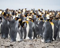 Grooming King Penguins in a Large Group. King penguins standing in the colony. Most have their silver backs to the camera but some are seen in profile facing