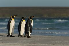 King penguins standing on a sandy coast by the blue ocean. Summer in Falkland islands Stock Photos