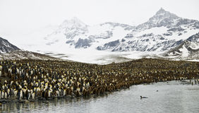 King Penguins in Stunning Scenery. A King Penguin colony and stunning mountain scenery - South Georgia stock photography