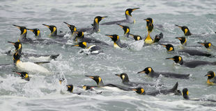 King Penguins Swimming in the Waves Stock Photos