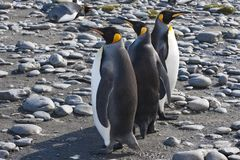 King penguins, three penguins in sunshine, Antarctica Royalty Free Stock Images