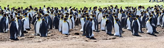 King Penguins at Volunteer Point Royalty Free Stock Photo
