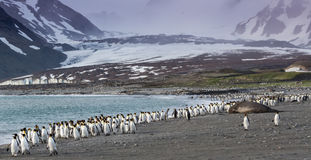King penguins walking away from katabatic winds on St Andrews bay, South Georgia. Near Antarctica Royalty Free Stock Photography
