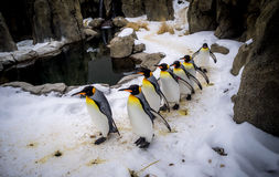 King Penguins. Walking at an outdoor exhibit at the zoo Royalty Free Stock Image