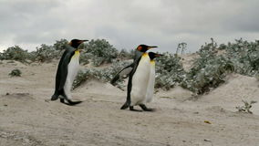 King Penguins on the way to the ocean stock video footage