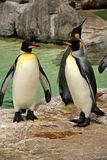 King penguins with yellow tufts. White body and black wings standing on a rock near water Royalty Free Stock Images
