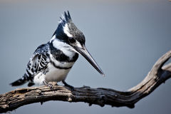 The King. A Pied Kingfisher sitting on a branch Royalty Free Stock Image