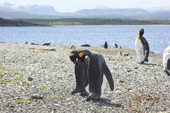 King pinguins near sea Stock Images