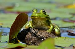 King of the Pond!. This big green bullfrog sat tall on his rock overseeing his domain, his huge eye and the drop of water off his lip made him an imposing figure stock photography