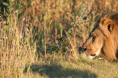 King Profile. Outcast Male Lion Profile in Chitage Preserve, Botswana,Africa stock image