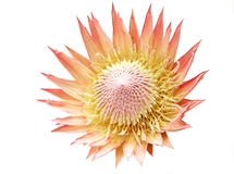 King Protea. Flower, isolated on white. A real beauty royalty free stock photography