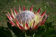 Free King Protea Royalty Free Stock Photography - 6993677