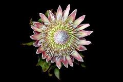 King protea Stock Images