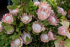 King Protea Royalty Free Stock Photo