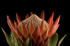 King Protea Closeup Side View Royalty Free Stock Image