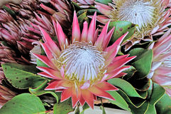 King Protea Royalty Free Stock Image