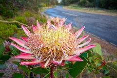 King protea flower Stock Photos