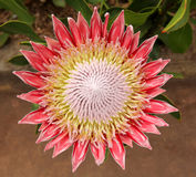 King Protea flower Royalty Free Stock Image