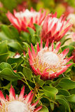 King Protea flowers close up Stock Photo
