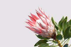 Red king protea plant on white background stock photography
