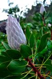 King Protea, South Africa`s national flower. Wallpaper view of a King Protea also called King Red Madiba Protea - South Africa`s national flower - from royalty free stock image