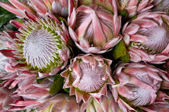King Protea. The spectacular pink King Protea with bracts and flowers fully open stock photography